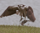 Osprey Lifting Off with Fish.jpg