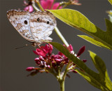 Butterfly on Bush.jpg