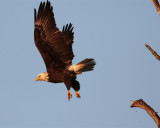 Eagle taking off from branch.jpg