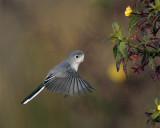 Grey Gnatcatcher hovering.jpg
