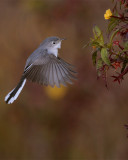 Gray Gnatcatcher 2.jpg