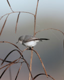 Grey Gnatcatcher in the reeds.jpg