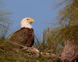 Bald Eagle in the Nest 2.jpg