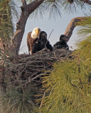 Bald Eagle with Two Fledglings.jpg