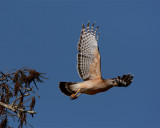 Red Shoulder Hawk Taking Off.jpg