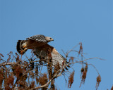 Red shoulder hawk launching from tree.jpg