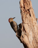 Circle B Red Bellied Woodpecker at Dawn.jpg