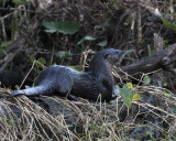 River Otter at Circle B 2.jpg