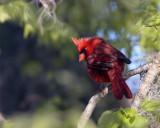 Circle B Cardinal on a branch.jpg