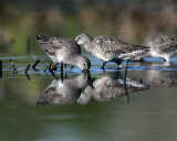 Dowitchers Reflection.jpg