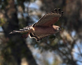 Red Shoulder Hawk Flying with Nesting Material.jpg