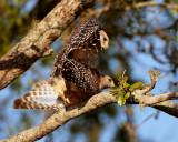 Red Shoulder Hawks Mating 2.jpg