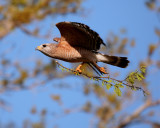 Circle B Red Shoulder Hawk in Flight with Nesting Material 4.jpg
