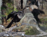 Circle B Anhinga by the Marsh.jpg