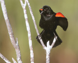 Circle B Redwing Blackbird Calling Looking Right.jpg