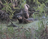 Three Otters on Alligator Alley.jpg
