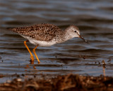 Lesser Yellow Legs on Wading Bird Way 2.jpg