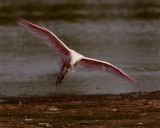 Roseate Spoonbill in Flight at Wading Bird Way.jpg