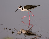 Black Neck Stilt Reflection 3.jpg