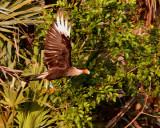 CaraCara in flight with nesting material.jpg