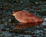 Night Heron at Viera.jpg