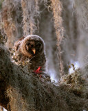 Juvenile Barred Owl Feeding Facing Camera.jpg