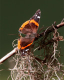 Butterfly on Marsh Rabbit Run.jpg