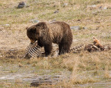 Grizzly in a rib Cage.jpg