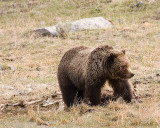 Grizzly on a Carcass by the Pond 2.jpg