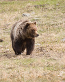 Grizzly on a Carcass Walking Forward.jpg