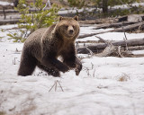 Grizzly Running Across the Snow.jpg