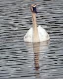 Trumpeter Swan Near Wonder Lake Vertical.jpg