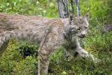 Lynx Near Wilderness Access Center 2.jpg