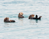 Three Sea Otters in Prince William Sound.jpg