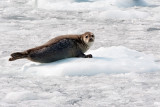 Seal on the ice.jpg