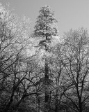 GSMNP Tree black and white.jpg