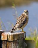 Red Shoulder Hawk at Broadmoor Marsh.jpg