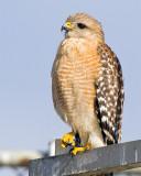 Red Shoulder Hawk at Broadmoore Marsh on Antenna.jpg