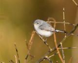 Blue Grey Gnatcatcher at Circle B.jpg