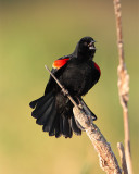 Redwing Blackbird at Fellsmere.jpg