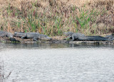 Gators on the bank at Fellsmere Wetlands.jpg