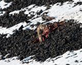 Coyotes on an Elk Carcass.jpg