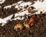 Coyotes on an Elk Carcass 2.jpg
