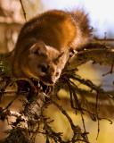 Pine Marten in the tree.jpg