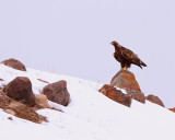 Golden Eagle on the Hill in Lamar Valley Above the Hitching Post.jpg