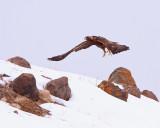 Golden Eagle Taking Flight.jpg