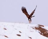 Golden Eagle Flying Over the Hill.jpg