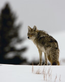 Coyote in the Snow.jpg