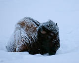 Bison Laying in the Snow.jpg