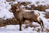 Bighorn Ram in the Snow at Lamar.jpg